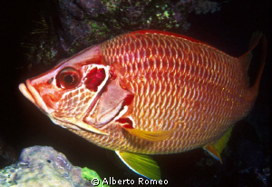 Portrait of a Sqirrelfish (Sargocentron spiniferum). by Alberto Romeo 